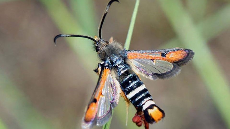 Fiery Clearwing