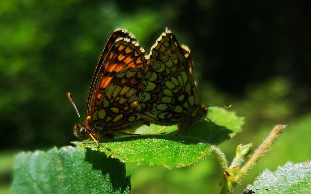 Heath Fritillary Butterflies